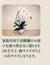 家庭用胡蝶蘭がお届け先様の指定先に届きます。1本立ちで、鉢サイズが5.5~6号サイズになります。